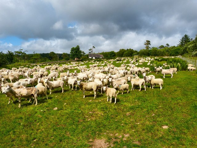 Shorn Sheep at Machrie
