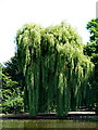 TQ1477 : Osterley Park, Willow tree by Alexander P Kapp