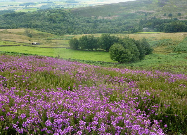 Bell heather and upland enclosures