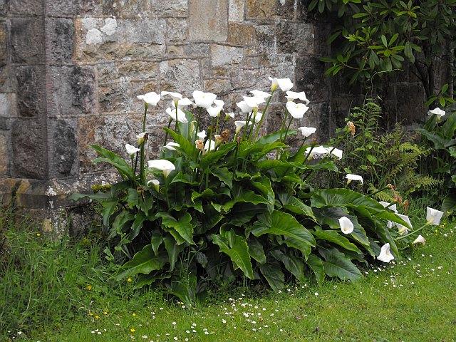 Calla lilies at Oriel Plas Glyn y Weddw