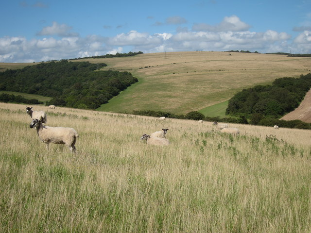 Sheep at Balmer Down