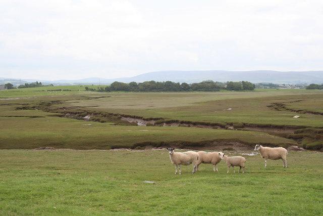 Saltmarsh sheep