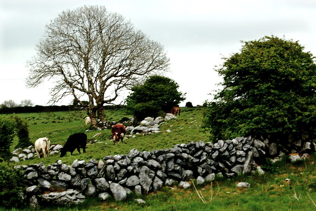 The Burren - R480 - Wall, Field, Cattle & Tree near Poulnabrone Dolmen Area