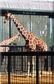 TL0017 : Giraffes at Whipsnade Zoo by Steve Daniels