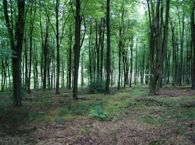 Beech woodland - High Wood