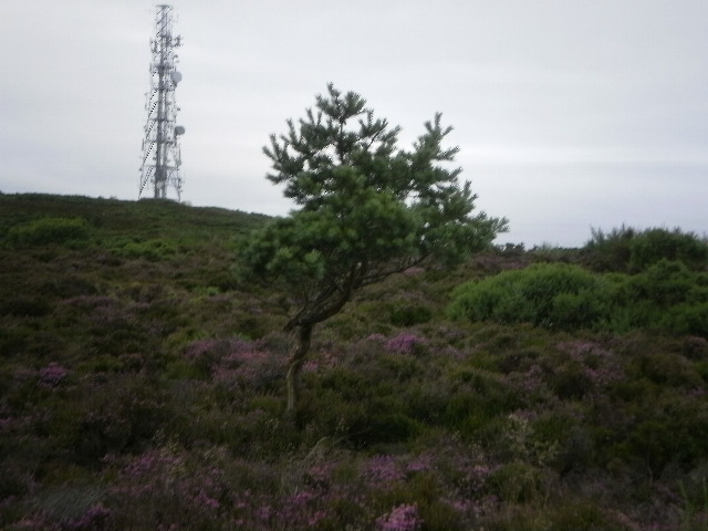 Another Lone Scots Pine