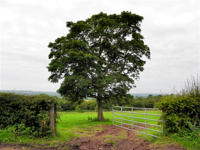 Tree in a field, Tamlaght