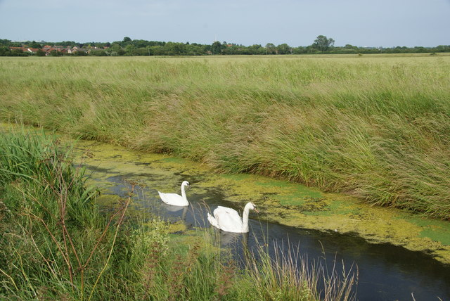 Swans on Minster Marshes