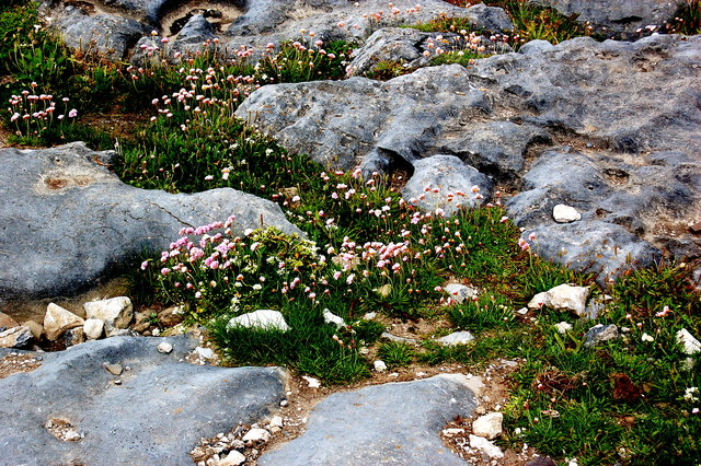 Doolin - R479 - Harbour - Red Clover-like Plants growing between Rocks