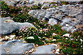 R0597 : Doolin - R479 - Harbour - Red Clover-like Plants growing between Rocks by Joseph Mischyshyn