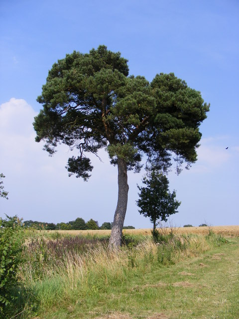 Pine Tree next to the Permissive path