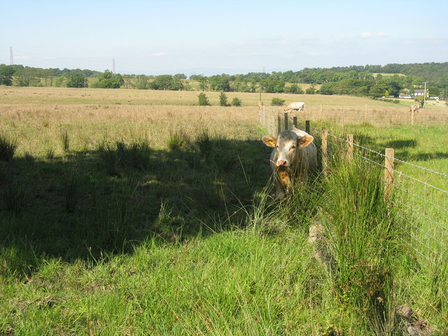 Grazing cattle at Melonsplace