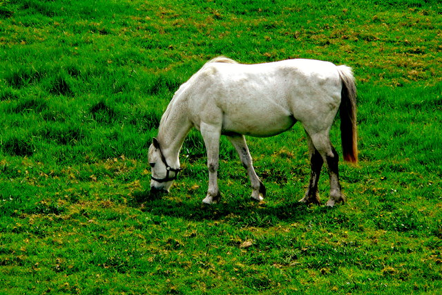 Doolin - Fisherstreet - White Horse Grazing along West Side of Street