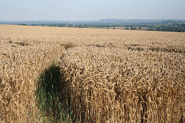Fivehead: wheatfield by Swell Hill