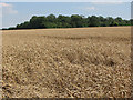 TL6148 : Ripening wheat at Streetly End by John Sutton