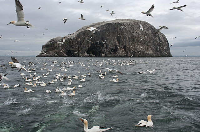 Gannets at the Bass Rock