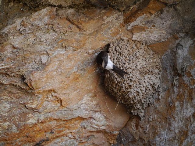 House Martin (Delichon urbica) At Nest, St Ninian's Cave
