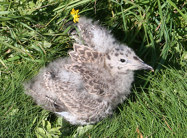 Herring Gull Chick
