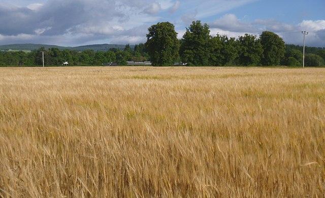 Barley by Bruiach