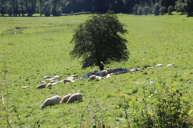 Sheep in the Coln Valley