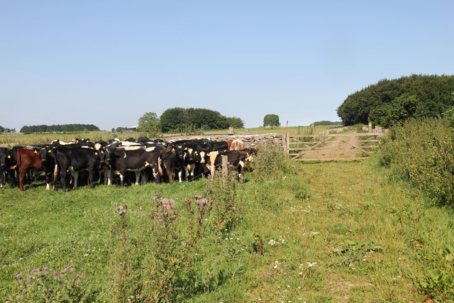 Calves by the path