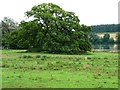 SP9796 : Large tree alongside Blatherwycke Lake by Christine Johnstone