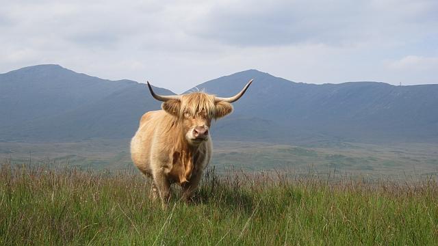 Highland cow, Achdabeg