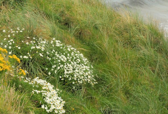 Sea mayweed, Portballintrae (2)