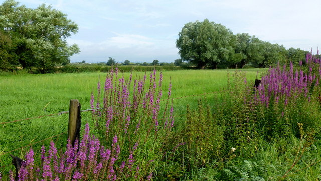 Willows and Willow Herb