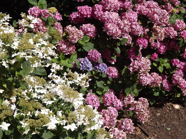 Herbaceous Border, Kew
