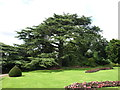 SK5339 : Cedar of Lebanon at Wollaton Hall by Andrew Abbott