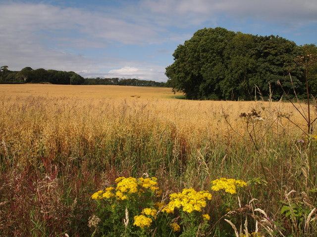 Field of oats, Kidsdale