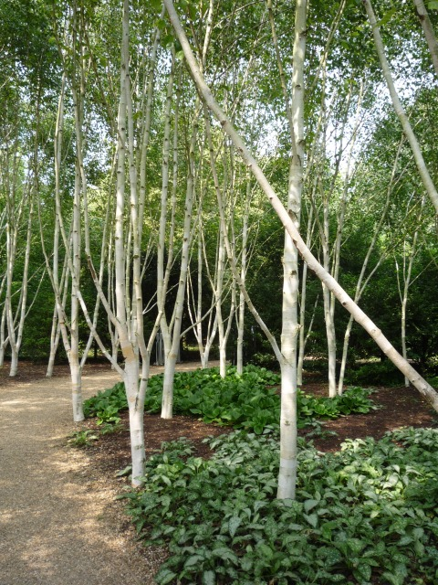 Silver Birches in the Winter Garden