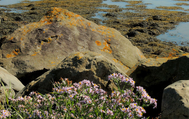 Sea aster, Strangford Lough