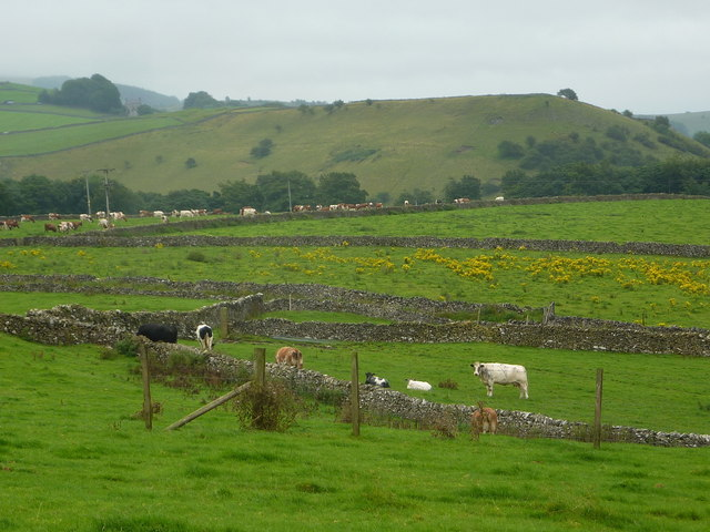 Cattle grazing above Miller's Dale