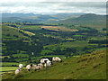 SD6494 : Sheep on Nab above the Lune Valley by Karl and Ali