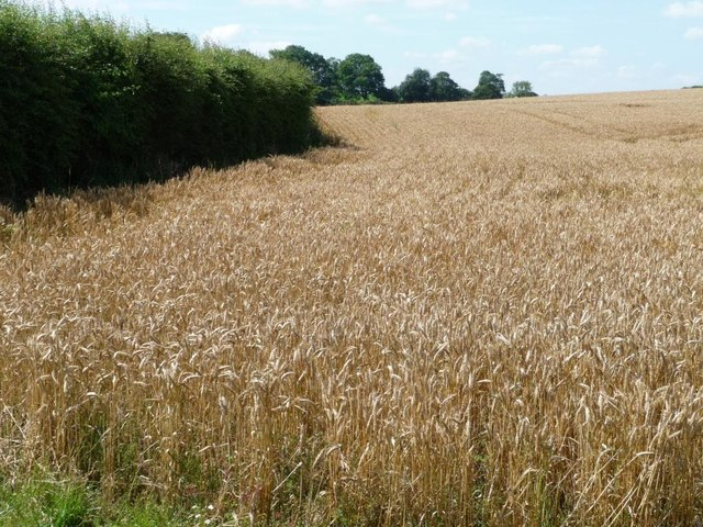 South-eastern edge of wheatfield