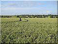 TL2261 : Wheat field by High Barn by Hugh Venables