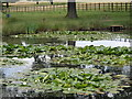 SK4563 : Pond with water lilies in the Hardwick estate parkland by Andrew Hill