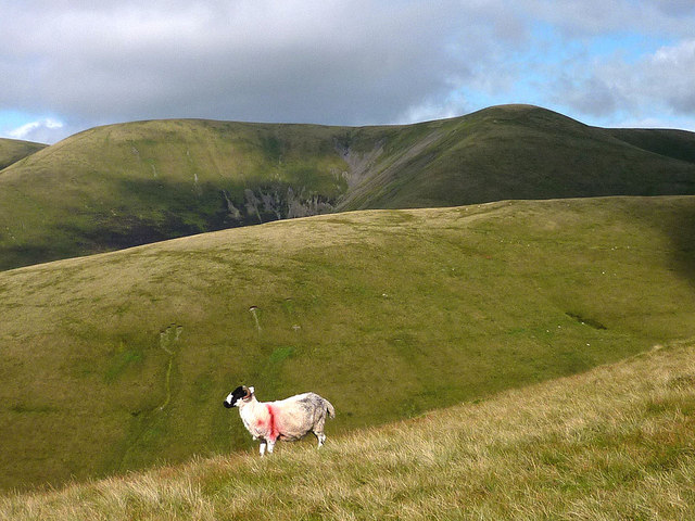 Rough Fell sheep on Arant Haw