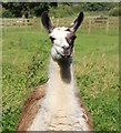 SJ5351 : Llama at Cholmondeley Castle by Jeff Buck