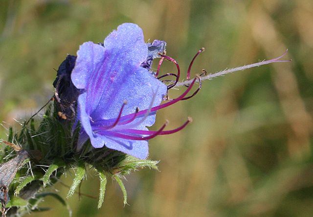 Viper's Bugloss