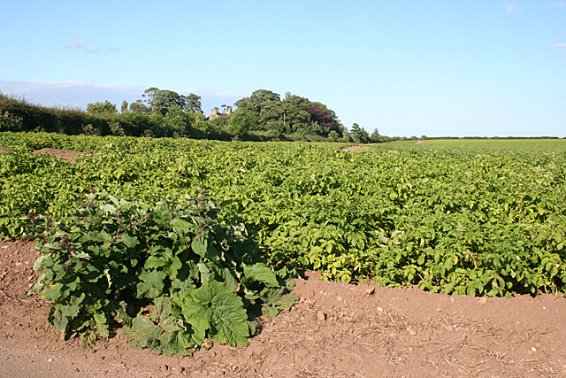 Tattie Field