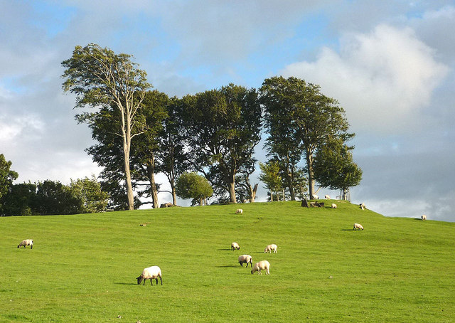 Sheep grazing on the earthwork, Dallam Park