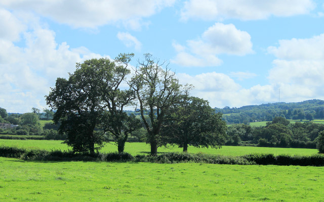2012 : Four oaks in a hedgerow