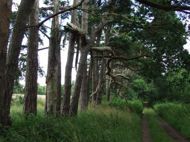 Pine Trees On Byway