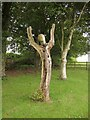 SX8257 : Tree sculpture, Sharpham by Derek Harper