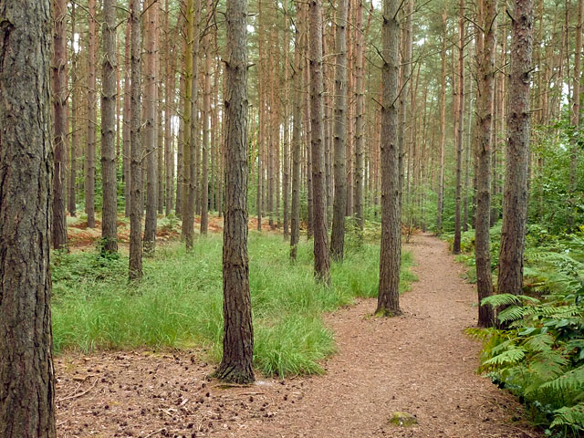 Pine plantation, Esher Common
