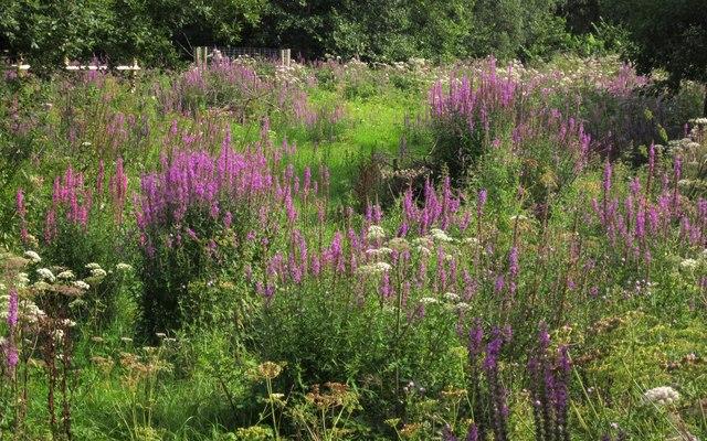 Purple loosestrife, Berryman Marsh