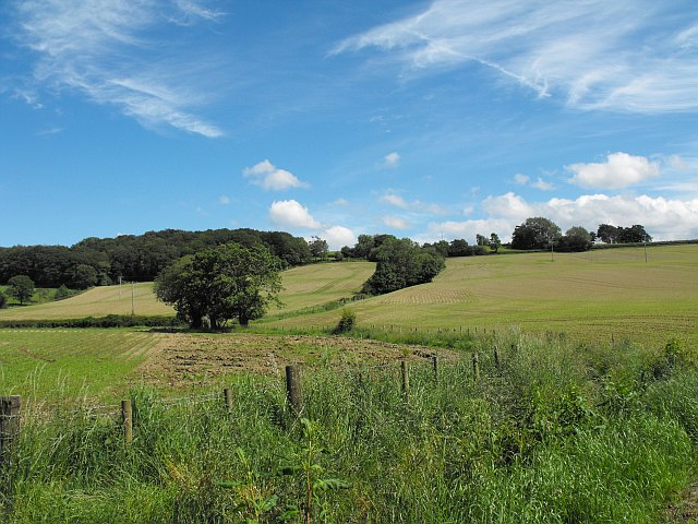 Three fields of young maize near Rhyd-y-felin